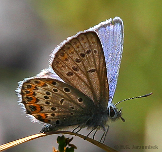 Plebejus-idas_male-lateral