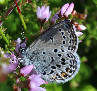 Plebejus-optilete-male-lateral