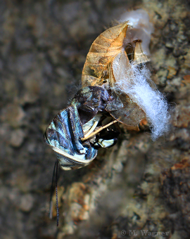 Blue-Clipper-hatches-from-its-pupa.