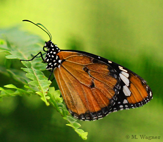 Plain-Tiger-Butterfly--Danaus-chrysippus